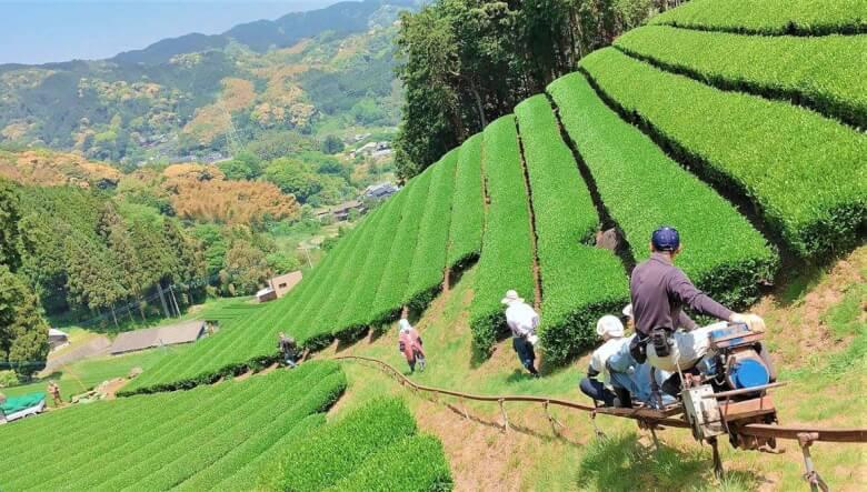 園部製茶の茶畑